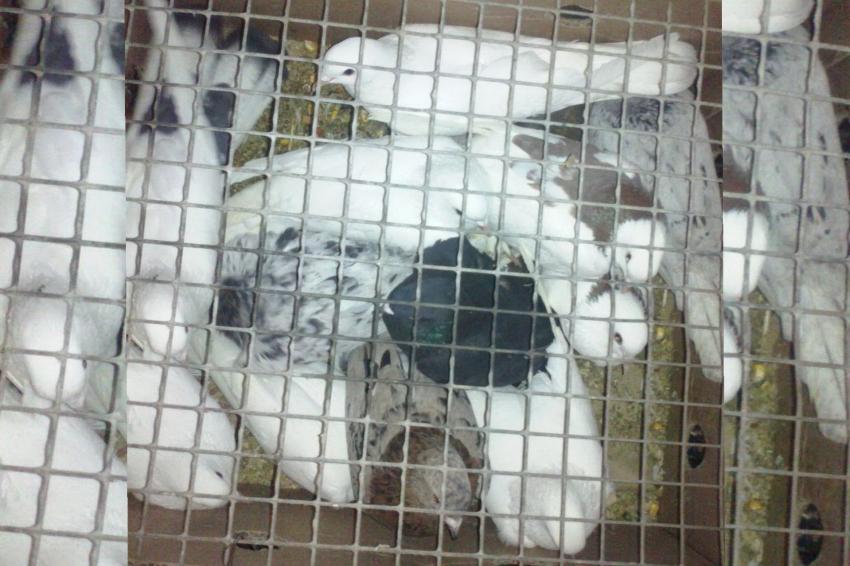 Пограничники не пустили в Дагестан 49 голубей