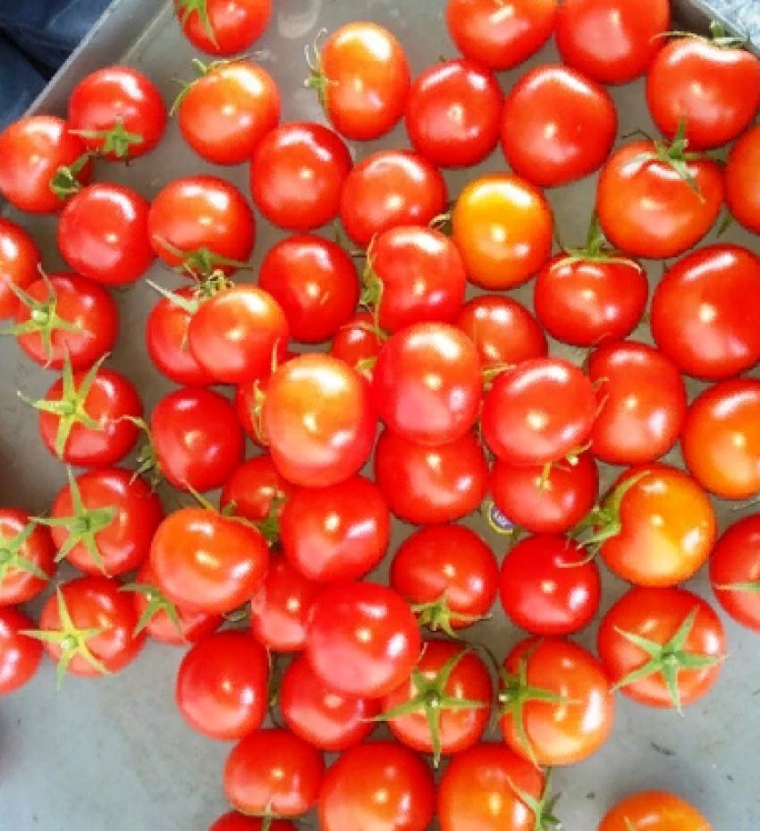 В Дагестане предотвратили ввоз свыше 67 тонн зараженных помидоров