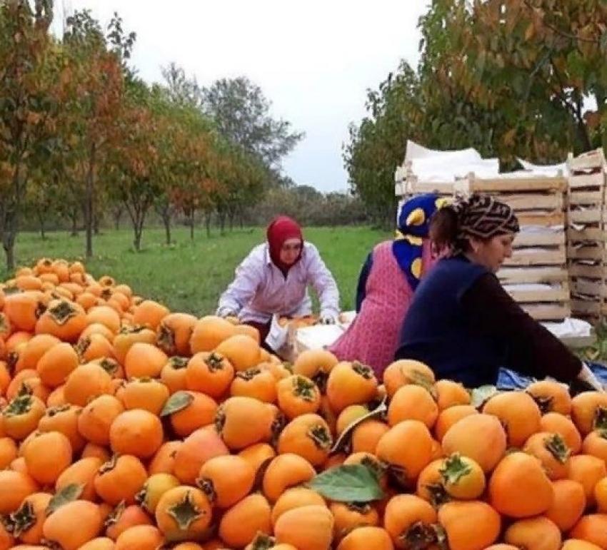 В Магарамкентском районе идет сбор урожая хурмы
