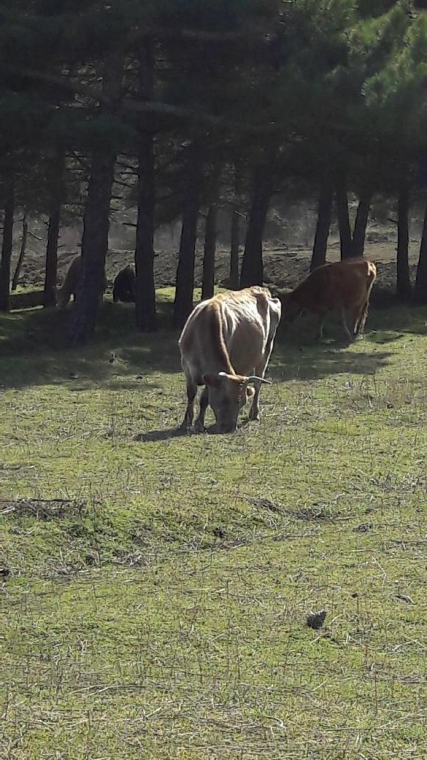 В Дагестане начнут штрафовать за выпас коров в лесу